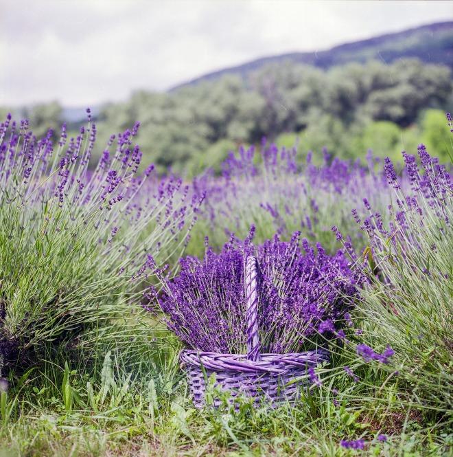 lavender-1478101_1920